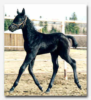 Stallion H.S. Thirty-Thirty's foal for sale - 15 kb
