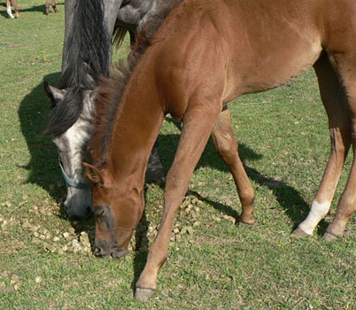 Foals eat hay cubes alongside their mothers!